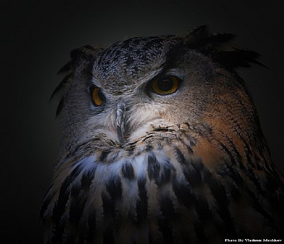 Owl. Portrait.