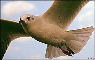 eye (The bird of peace)