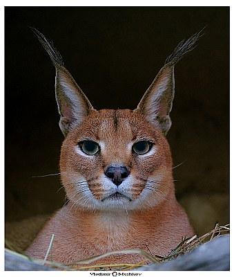 Steppe Lynx. Сaracal.