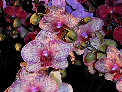 Orchids With Veins