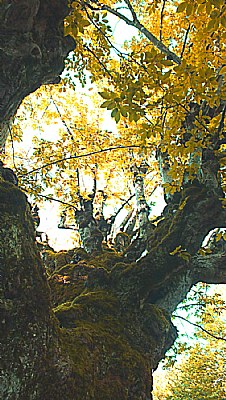 Forest Elder