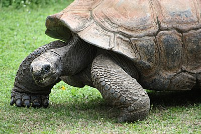 The Aldabra Tortoise