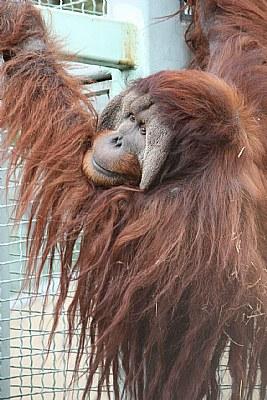 Orangutan (III)