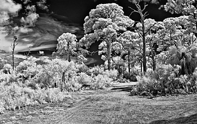 BW Ir...In The Woods