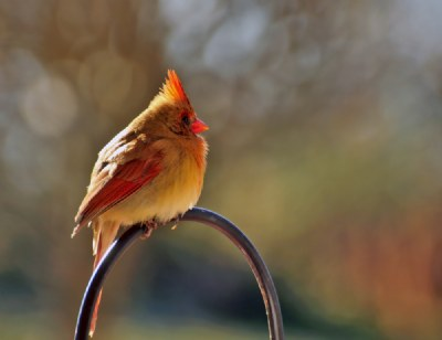 A cardinal on a sunny winters day