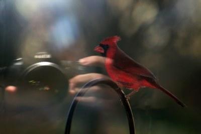 Photographing Cardinals
