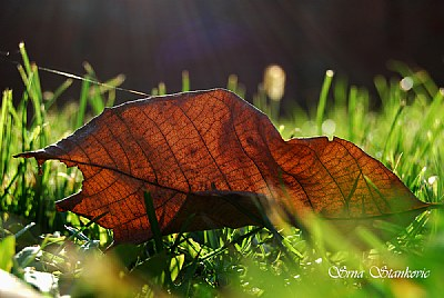 Just Leaf In The Grass