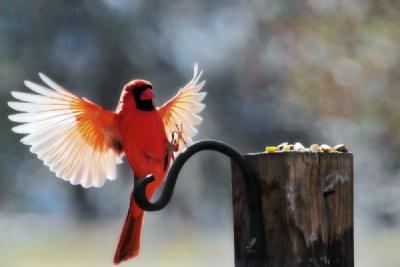 Cardinal landing
