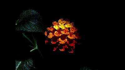 dark & flowers