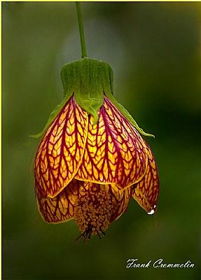 Abutilon Flower