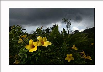 Coorg Flower