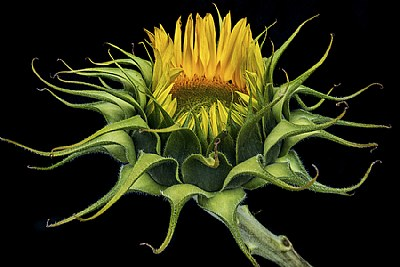 Sunflower Study #3