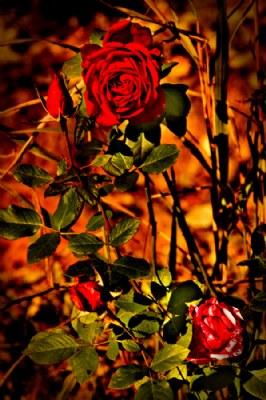 november rose's