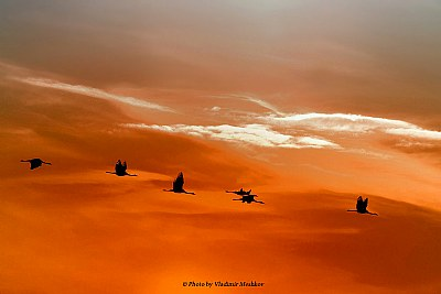 Gray Cranes. In SunSet.