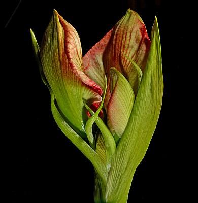 Amaryllis- unfolding.