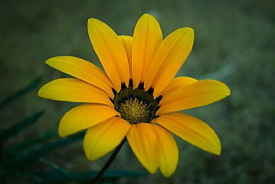 The first sunflower