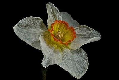 narcissus-the pretty one