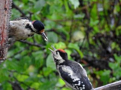 woody feeding woody
