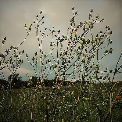 summerweed