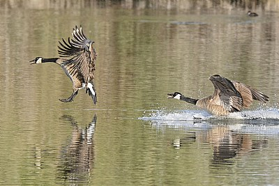 When Canadian Geese Land
