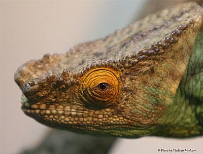 Chameleon. Portrait.