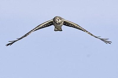 When Hawks Hunt