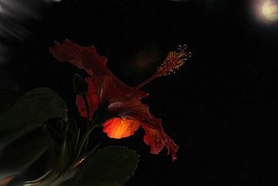 Hibiscus in Moonlight