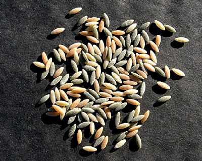 Tricolor Seeds