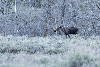 Moose in the thickets