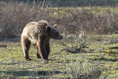 Lone Teton Grizzly
