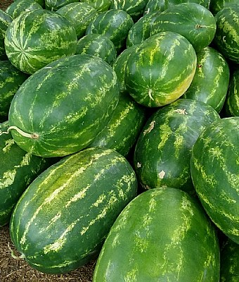 Watermelons are ripe now