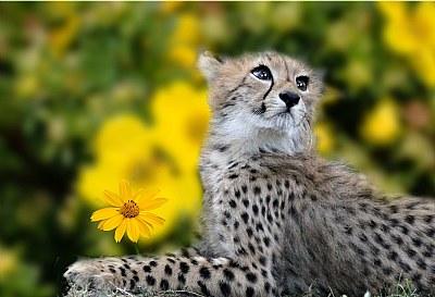 charming look (young cheetah)