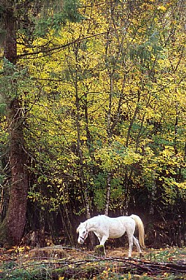 White Horse in Fall