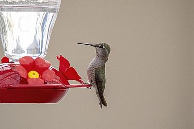 When Hummingbird Feed