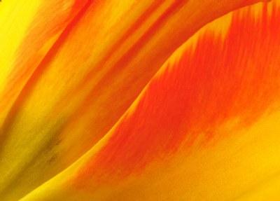 Tulip Contours