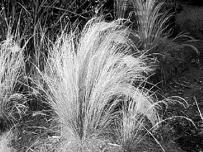 Grasses B&W