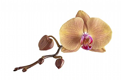 Phalaenopsis OX Golden Apple