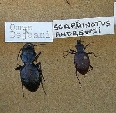 Scaphinotus