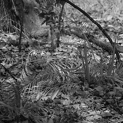 tigress sitting in the bushes