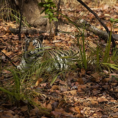 tigress resting at bandhavgarh...