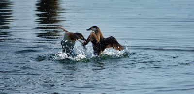 Fighting Ducks