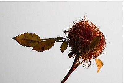 rose bedeguar gall