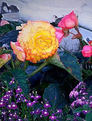 Begonia & Violets