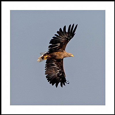 **Sea Eagle IV**