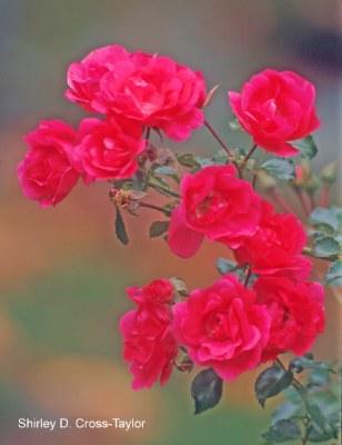 Red Rose Cluster