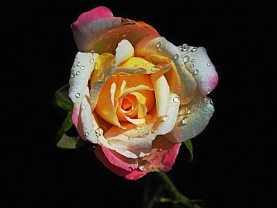 ,.,.sweet rose,.,.