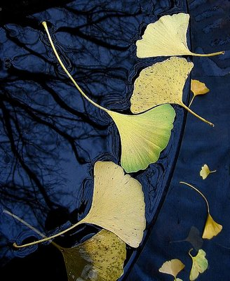 Ginko Leaves in Fountain